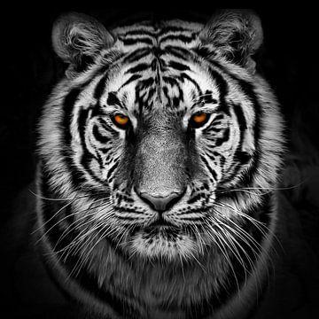 Porträt eines ernst dreinblickenden Tigers von Chihong
