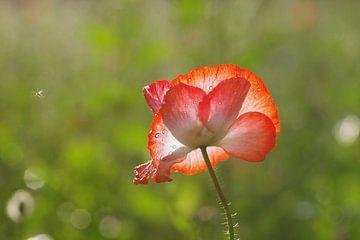 Zarte Blüte einer roten Mohnblume von cuhle-fotos