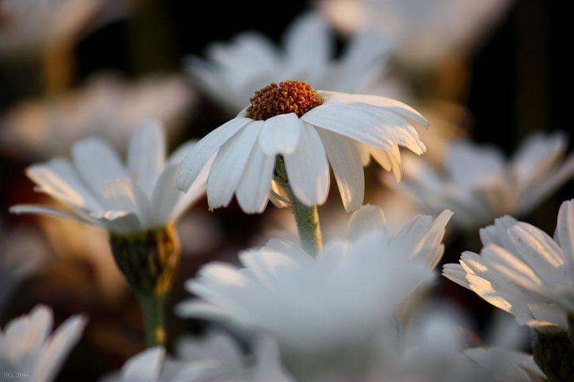weiße Margheriten sur Meleah Fotografie