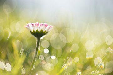 Gänseblümchen am Morgen von Elles Rijsdijk