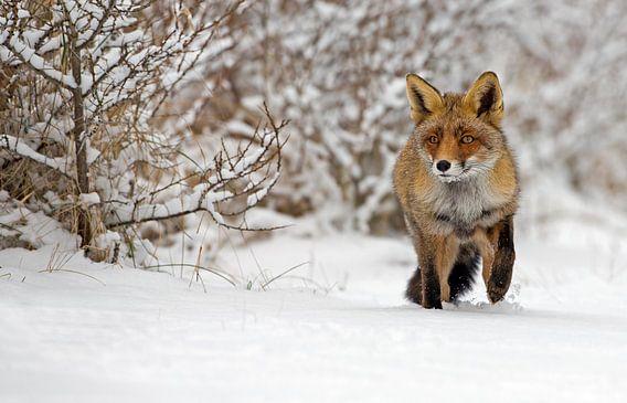 Vos in een winter landschap van Menno Schaefer