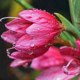 waterdruppels op roze bloemen van Compuinfoto .