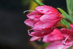 waterdruppels op roze bloemen van