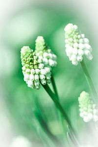 Witte druif hyacinth van Lily Ploeg