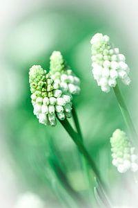 Witte druif hyacinth van