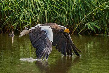 Stellers Zeearend vliegt over het water van gea strucks