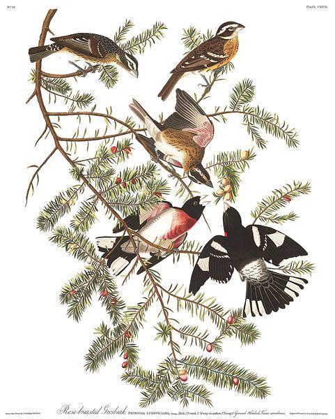 Roodborstkardinaal van Birds of America
