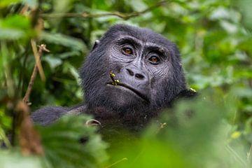 Gorilla in Oeganda - Bwindi Impenetrable Forest National Park van Maxime van Moergastel