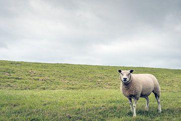 Porträt eines Schafes am Fuße eines niederländischen Deiches von Ruud Morijn