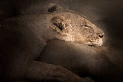 Lioness - at rest at the end of the day van