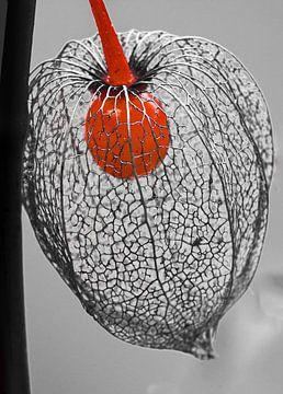 lampionplant van Harry Siegers