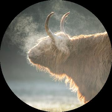 Schotse Hooglander, Texel van Edwin Kooren