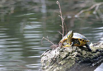 waterschildpad in de natuur in Nederlandse ven von Petra De Jonge