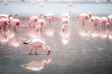 Weidende Flamingos von Jelmer Laernoes