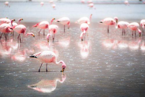 Grazende flamingo's