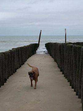 Boxer strand van tania mol