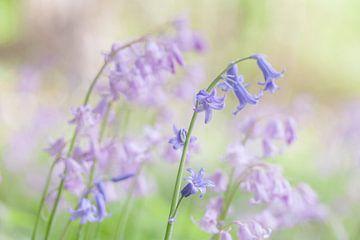 Boshyacinthes en bleu et rose sur Karla Leeftink
