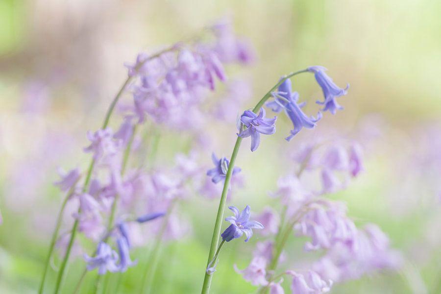 Boshyacinten in blauw en roze