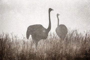 Struisvogels in de mist van De Afrika Specialist