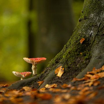 Fliegenpilze auf Baumstamm ( Pilz ) von Wouter van Agtmaal