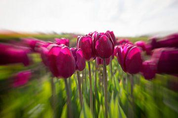 roze tulpen van Kerstin Lotze