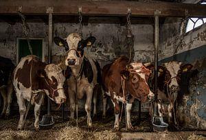 Koeien in oude koeienstal van