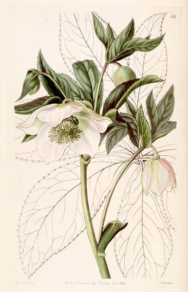 Helleborus orientalis illustration van Sarah Ann Drake. van Botanische Prenten