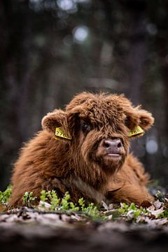 Schotse Hooglander op de Wezepsche Heide van S van Wezep