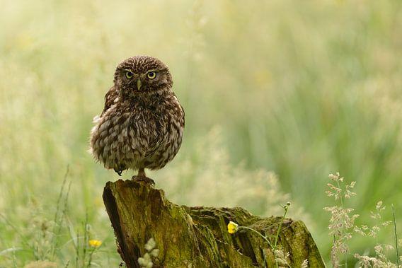 Steenuil in het veld - Little Owl van Martin Bredewold