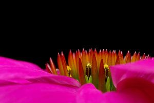 Echinaceae Purpurea