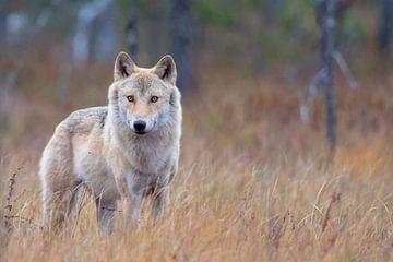 Wolf Finland van Han Peper