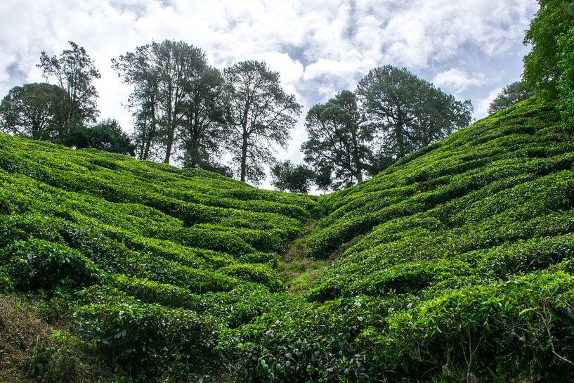 Thee planten in Maleisië sur Loes Huijnen