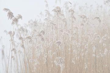 Bevroren rietpluimen in de mist