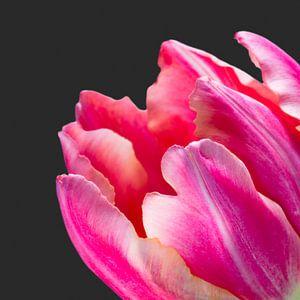 Detail van een fel roze tulp met donkere achtergrond van Judith Spanbroek-van den Broek