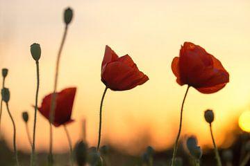Mohnblumen bei Sonnenuntergang von Kristof Ven