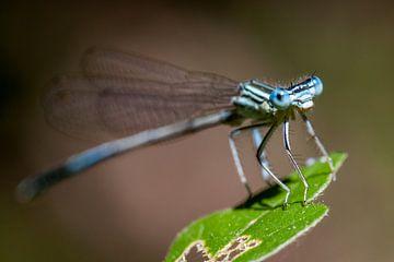Blauwe waterjuffer op een blad van Joost Adriaanse