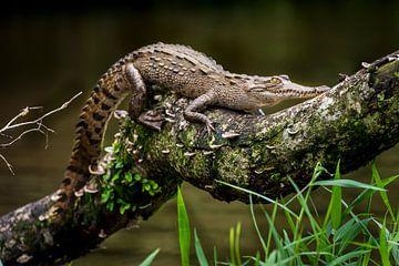 Krokodillen baby, crodocdile