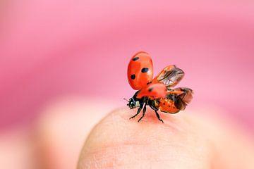 Lieveheersbeestje take off von Dennis van de Water