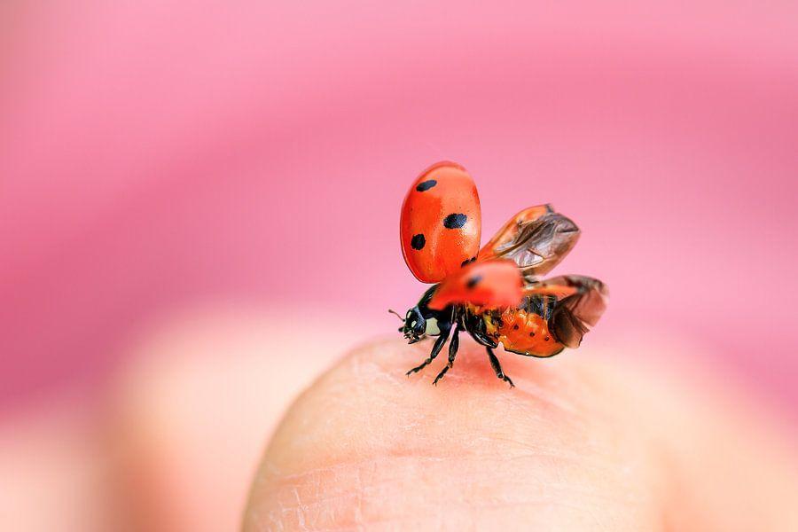 Lieveheersbeestje take off van Dennis van de Water