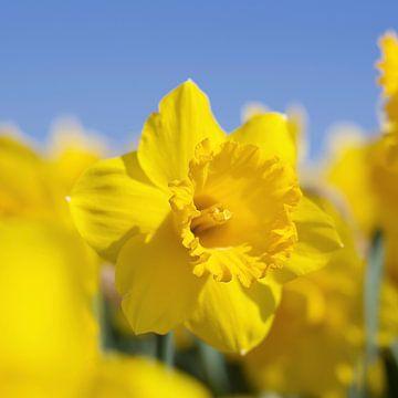 Schoonheid van een gele narcis van Wendy Tellier - Vastenhouw
