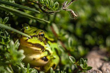Der Frosch im Garten von Wilco Snoeijer