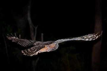 vliegende uil von Eric van den Berg