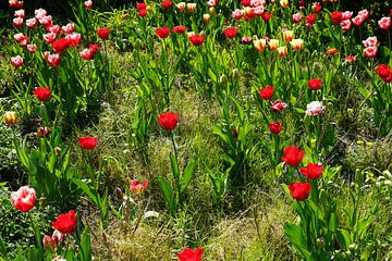 Rote und weiße Tulpen im Blumenbeet von Natalie V