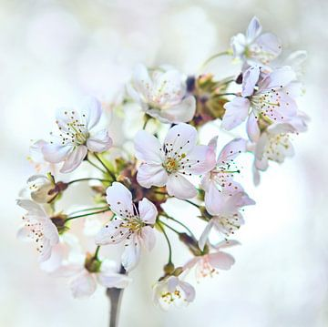 Kersenbloesem van Jeannette Penris