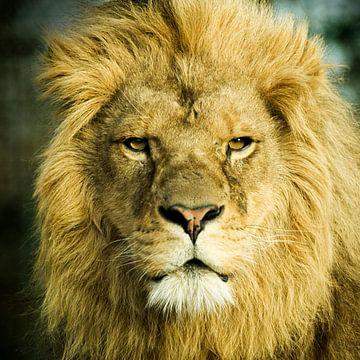 Mannetjes Leeuw  van Sandra Kuijpers