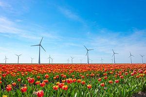 Rode met gele tulpen op in de polder in flevoland