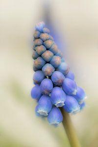 Blauwe Druifje