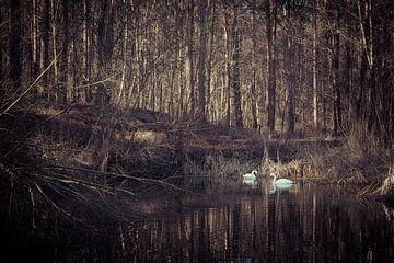 Zwanenpaar in een bosvijver van Gerrit Veldman