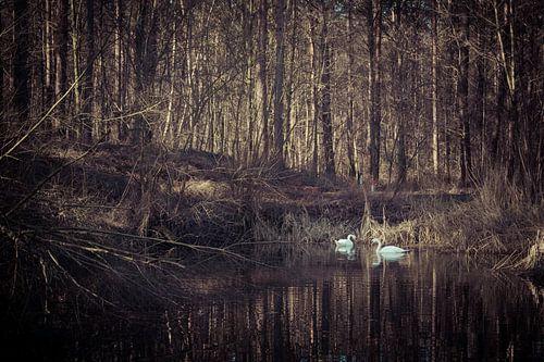 Zwanenpaar in een bosvijver