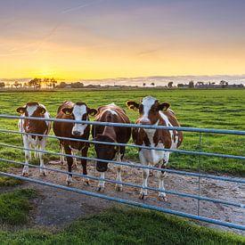 Vaches curieuses, Marsum (Gr.) sur Ton Drijfhamer